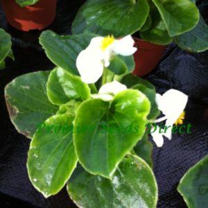 Begonia Semperflorens Heaven White F1