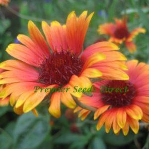 Gaillardia Aristata Grandiflora Mixed NEW