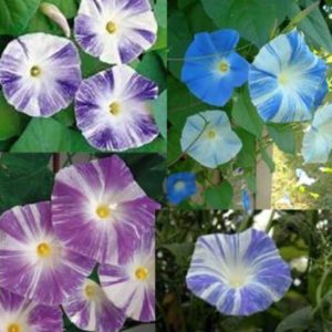 Morning Glory Ipomoea Flying Saucer Mix new