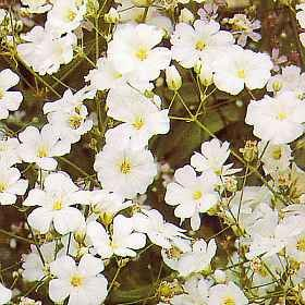 Gypsophila Elegans Covent Garden new