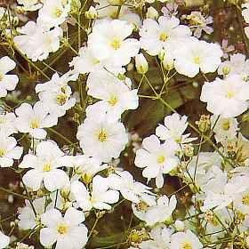 Gypsophila Elegans Covent Garden new