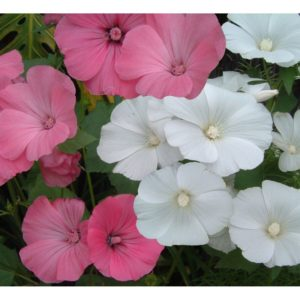 Lavatera Rose Mallow Trimestris Mix new