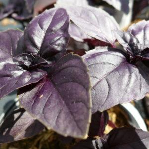Herb Basil Red Rubin organic