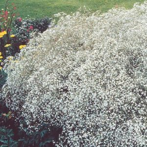 Perennial Gypsophila Single Alba