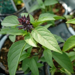 Herb Basil Persian organic