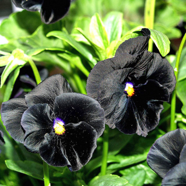 Pansy Clear Crystal Black