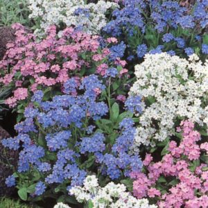 Forget Me Not Myosotis Mixed
