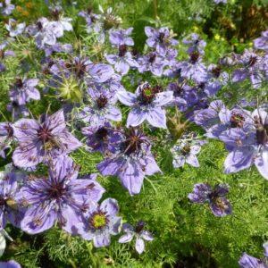 Nigella Hispanica seeds