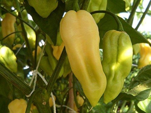 Hot Chilli Pepper Bhut Jolokia White