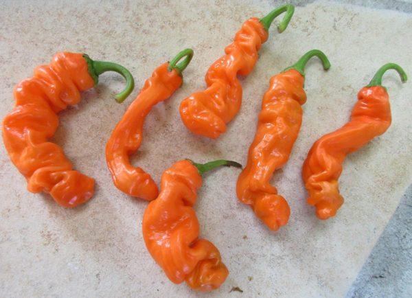 Hot Chilli Pepper Peter (Penis) orange