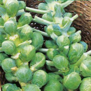 Brussel Sprout Darkmar 21