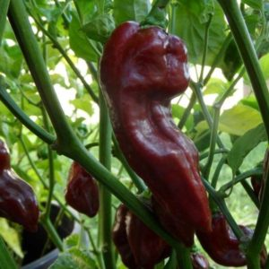 Hot Chili Pepper Devil's Tongue Chocolate