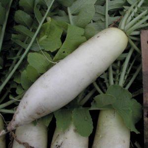 Radish Mooli Minowase Organic