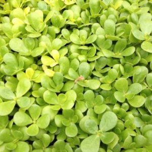 Herb Purslane Golden
