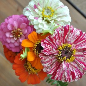 Zinnia Thumberlina
