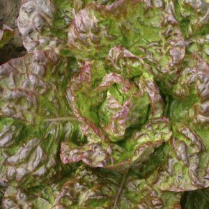 Lettuce Heirloom Marvel of 4 Seasons Organic