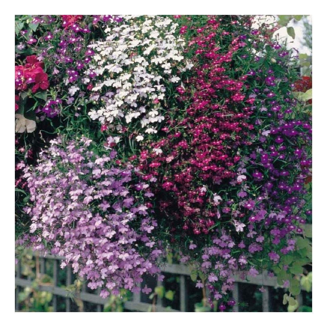 Lobelia Colour Cascade Mixed Seeds