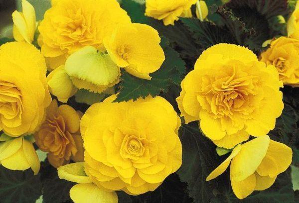 Begonia Tuberous Non Stop Yellow F1