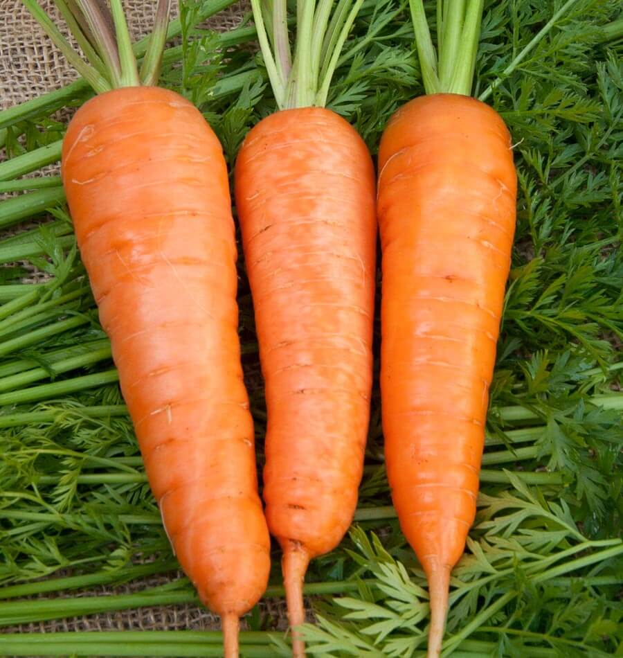 Carrot Royal Chantenay Premier Seeds Direct