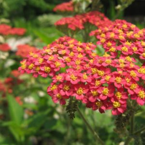 Achillea Millefolium Rubra Red new