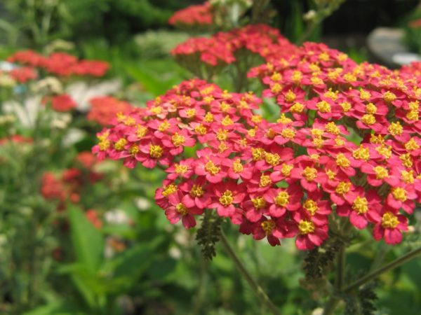 Achillea Millefolium Rubra Red new