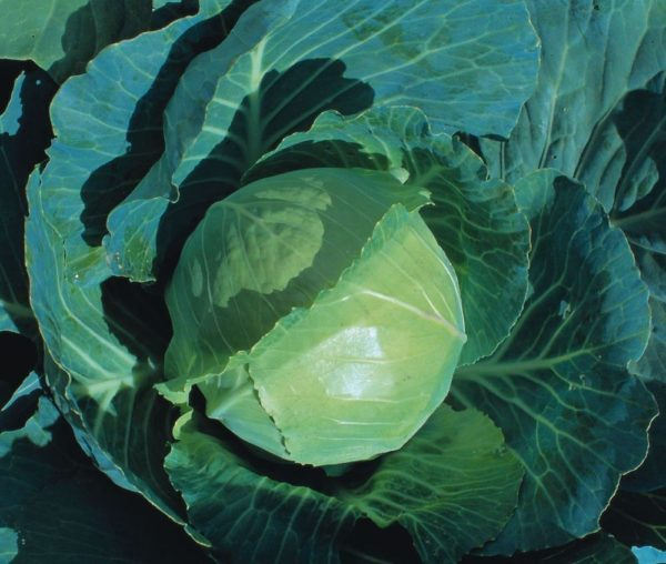 CABBAGE - EARLIEST OF ALL