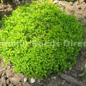 Herb Thyme Thymus Vulgaris