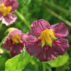 FLOWER NASTURTIUM PURPLE EMPEROR