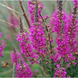 LYTHRUM PURPLE LOOSESTRIFE