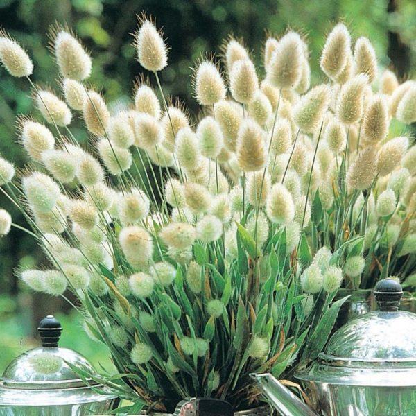 ORNAMENTAL GRASS - LAGURUS OVATUS - BUNNY TAILS