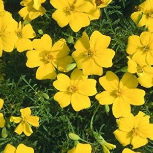 Flower MARIGOLD LEMON GEM TAGETES