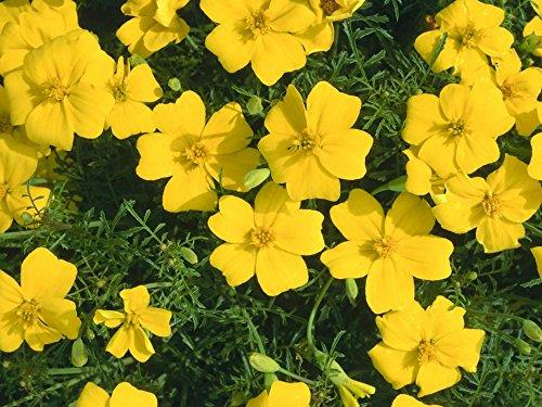 Flower MARIGOLD LEMON GEM TAGETES