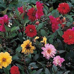 FLOWER DAHLIA RED SKIN MIXED