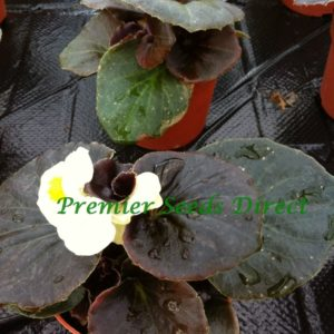 BEGONIA SEMPERFLORENS - DEVIL WHITE F1