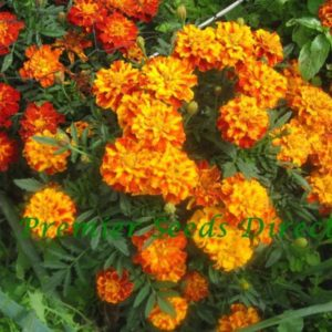 FRENCH MARIGOLD – SPARKY MIX organic
