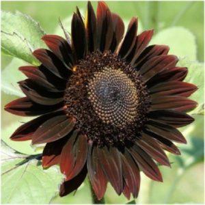 ANNUAL FLOWER SUNFLOWER CHOCOLAT