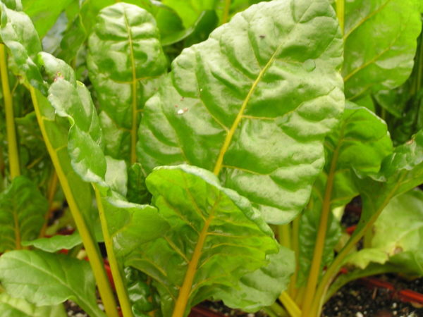 Vegetable SWISS CHARD CANARY YELLOW