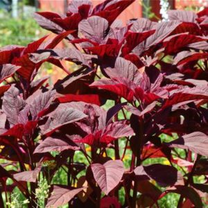 Herb Amaranth Red