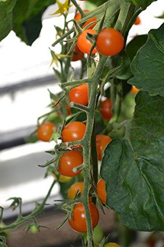 Vegetable Tomato Sungold