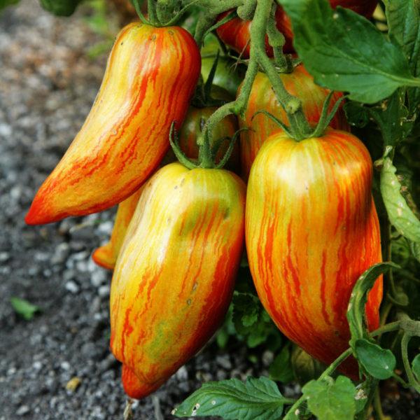 Organic TOMATO SPECKLED ROMAN