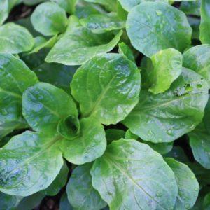 Herb Corn Salad Lambs Lettuce Mache