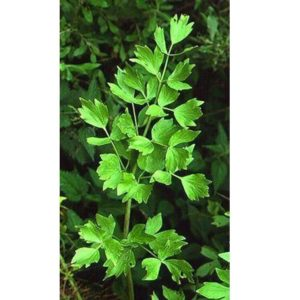Organic Herb Lovage LEVISTICUM OFFICINALE