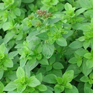 Herbs Marjoram Sweet Origanum Marjorana