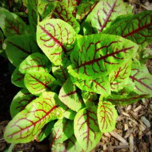 Herb Sorrel Red Veined