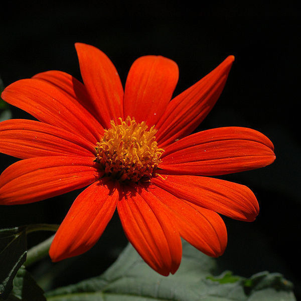 FLOWER TITHONIA TORCH – MEXICAN SUNFLOWER