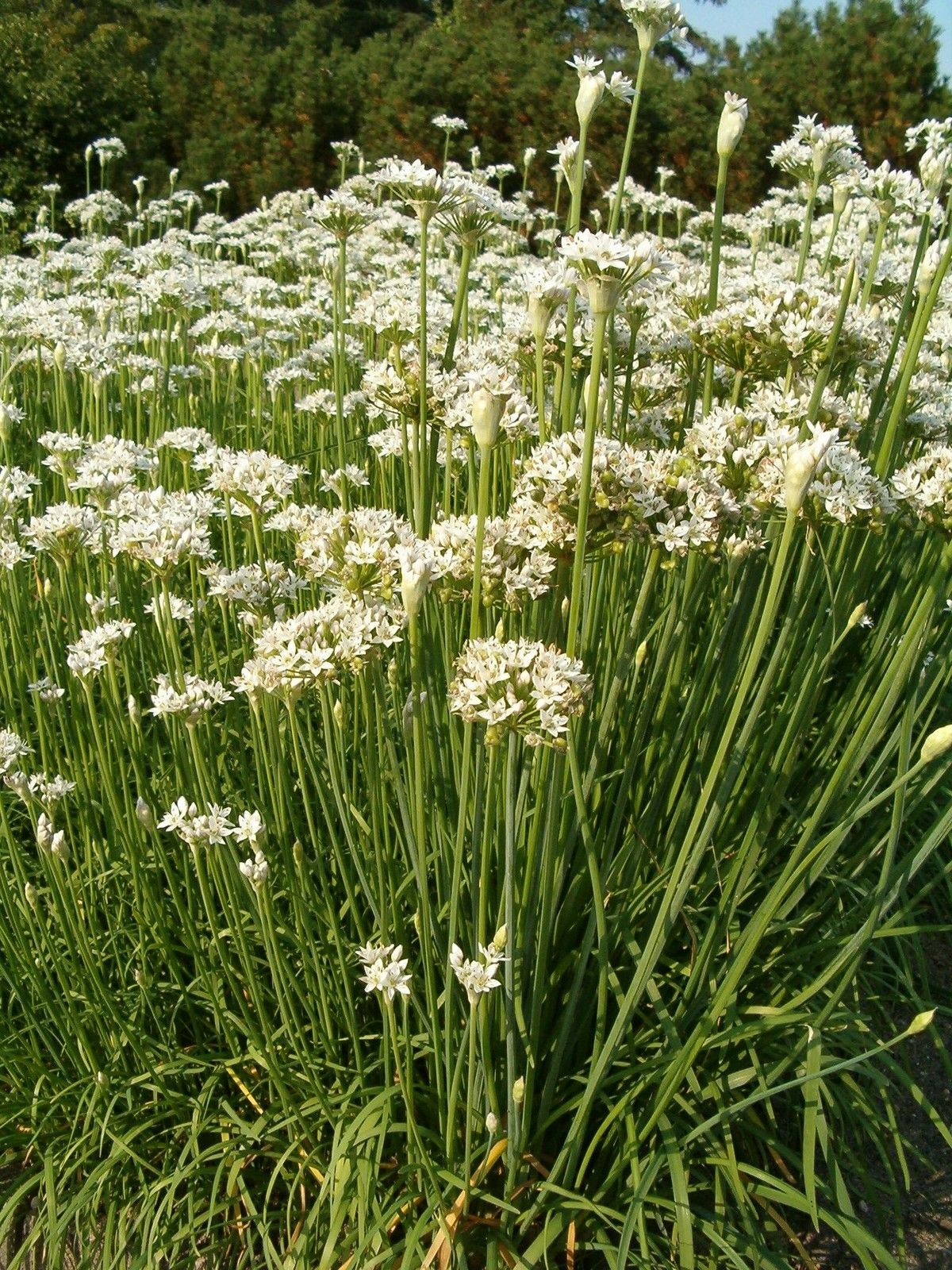 organic garlic chinese chives premier seeds direct