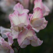 FLOWER SWEET PEA MOLLIE RILESTONE