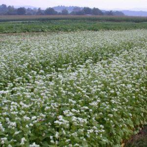 Buckwheat Green Manure