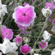PERENNIAL FLOWER LYCHNIS ROSE CAMPION ANGELS BLUSH