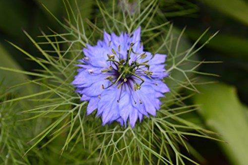 FLOWER NIGELLA LOVE IN A MIST MISS JEKYLL ORGANIC Premier Seeds Direct